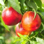 nectarines on tree for nectarine benefits