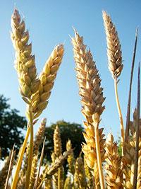 wheat growing